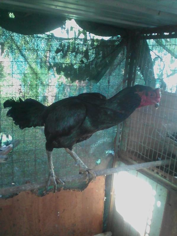 a vendre coq poule pur espece 17 mois a 200 euros