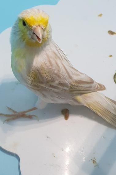 satine jaune mosaique en mue