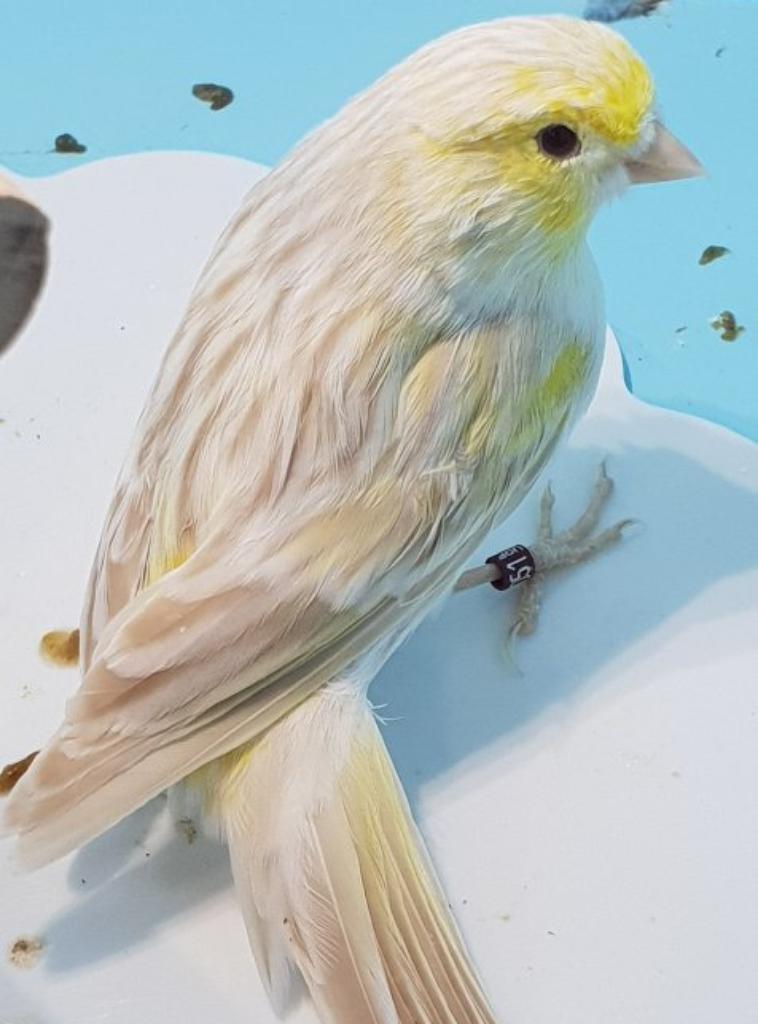 autre male satine jaune mosaique en mue