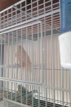 couple femelle blanche satiné male rouge isabelle