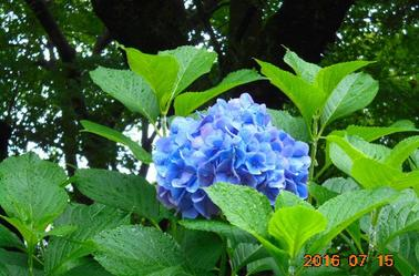 Hydrangea is also beautiful.