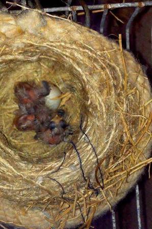 Vraiment magnifique de voir la naissance des petits Chardonnerets de : Marwane Tahri