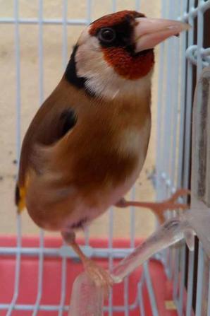 La beauté absolument ???  ? Le Chardonneret Toujours le Meilleur ? https://www.facebook.com/ChardonneretGolden/  https://plus.google.com/+ChardonneretGolden  https://www.instagram.com/chardonneretgolden/  http://www.youtube.com/ChardonneretGolden  http://www.twitter.com/ChardonneretGol  http://chardonneretgolden.tumblr.com/  https://www.pinterest.com/chardonneretGolden/  http://chardonneretgolden.skyrock.com/  https://chardonneretgolden.blogspot.com/  http://chadonneret.e-monsite.com/  #الحسون #المقنين #القرديل #سهره  #Chardonnerert #Canari #Mulet #MuletOiseau #Oiseau #Birds #Animaux #Goldfinch #Jilguero #Cardellino #καρδερίνα #Sakakuşu #Chien #Chat #Pigeon #Cheval #Science #Reptile #Poisson #Plantes #Hibiscus #Alger #Algérie #Tunisie #Maroc #ChardonneretGolden