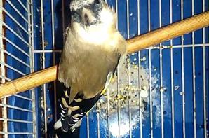 Splendide Chardonneret avec masque blanc  (y) ? Le Chardonneret Toujours le Meilleur ? https://www.facebook.com/ChardonneretGolden/  https://plus.google.com/+ChardonneretGolden  https://www.instagram.com/chardonneretgolden/  http://www.youtube.com/ChardonneretGolden  http://www.twitter.com/ChardonneretGol  http://chardonneretgolden.tumblr.com/  https://www.pinterest.com/chardonneretGolden/  http://chardonneretgolden.skyrock.com/  https://chardonneretgolden.blogspot.com/  http://chadonneret.e-monsite.com/  #الحسون #المقنين #القرديل #سهره  #Chardonnerert #Canari #Mulet #MuletOiseau #Oiseau #Birds #Animaux #Goldfinch #Jilguero #Cardellino #καρδερίνα #Sakakuşu #Chien #Chat #Pigeon #Cheval #Science #Reptile #Poisson #Plantes #Hibiscus #Alger #Algérie #Tunisie #Maroc #ChardonneretGolden