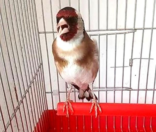 ? Le Chardonneret Toujours le Meilleur ? ❤ ??  https://www.facebook.com/ChardonneretGolden/  https://plus.google.com/+ChardonneretGolden  https://www.instagram.com/chardonneretgolden/  http://www.youtube.com/ChardonneretGolden  http://www.twitter.com/ChardonneretGol  http://chardonneretgolden.tumblr.com/  https://www.pinterest.com/chardonneretGolden/  http://chardonneretgolden.skyrock.com/  https://chardonneretgolden.blogspot.com/  https://chadonneret.e-monsite.com/  #الحسون #المقنين #القرديل #سهره  #Chardonnerert #Canari #Mulet #MuletOiseau #Oiseau #Birds #Animaux #Goldfinch #Jilguero #Cardellino #καρδερίνα #Sakakuşu #Chien #Chat #Pigeon #Cheval #Poisson #Reptile #Science #Plantes #Hibiscus #Alger #Algérie #Tunisie #Maroc #ChardonneretGolden