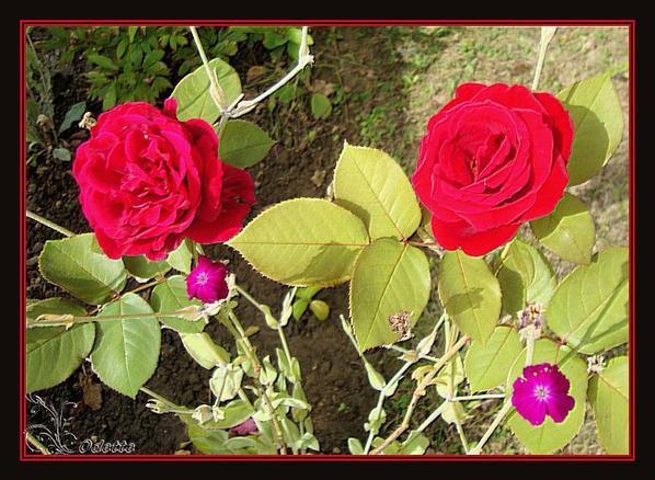 rosier planté l'année dernière