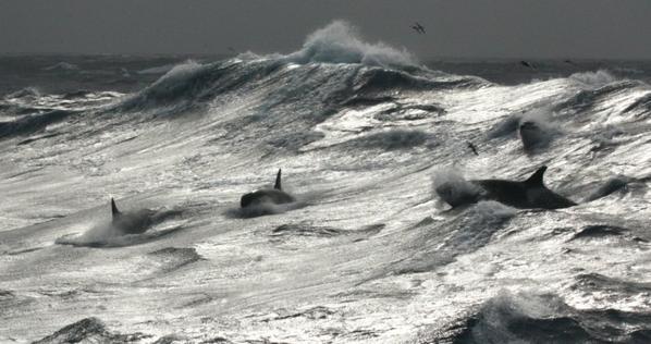 les orques aux kerguelen