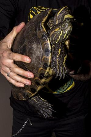 Trachemys emolli femelle de + de 5 kg