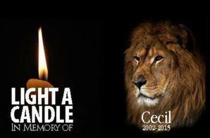 Cecil, le magnifique lion à crinière noire