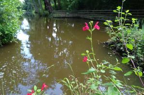 1 er nénuphar de l'étang