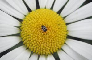 Paquerette & insecte