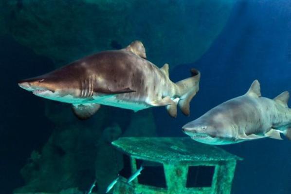 #ST23 #Carte d'Identité Faune #Requin Taureau