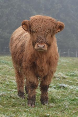 """Mozart du Domaine de Chôdes"" Highland Cattle"