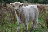 """Highland Cattle """"Gordon vom Hartelstein"""" (4 ans/Jahre)"""