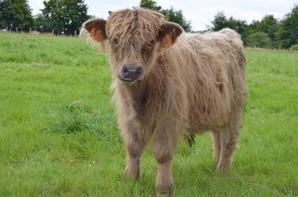 """Highland Cattle """"Phil vom Waldsee"""" - 2 ans/Jahre"""
