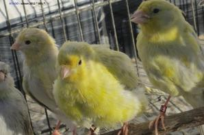 Jeunes canari 2012 - fond blanc & jaune