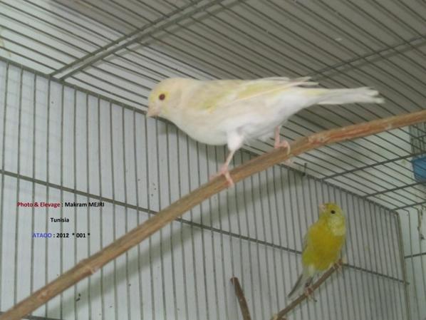 Une femelle Isabelle jaune mosaique