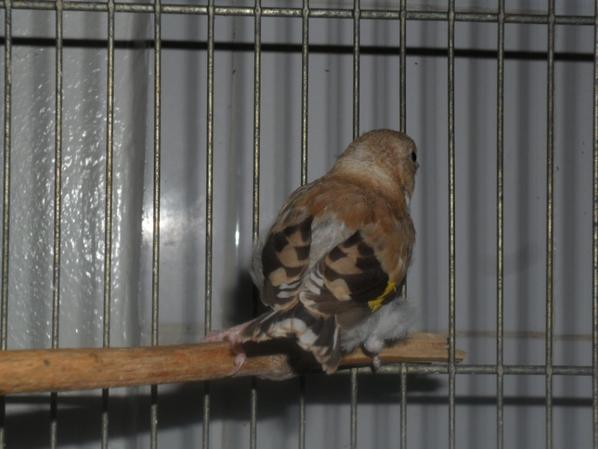 Jeune femelle brune