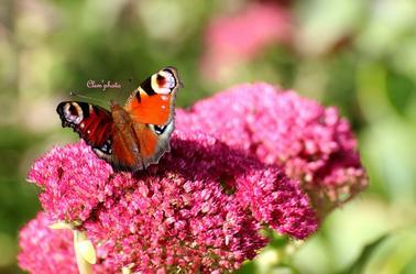 Article 49 : Papillon