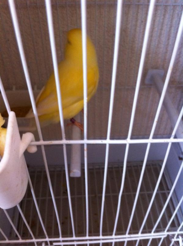 Mon nouveau canari Male Jaune Shimmel