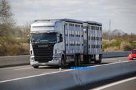 Les bétaillères en camion-remorque.