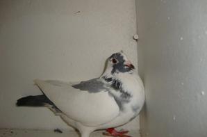 Pigeon de couleur