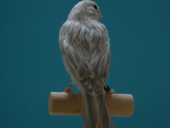 Agaat Opaal wit ca. 80 dagen oud