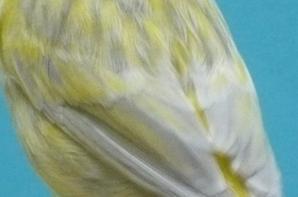 Opaal geel schimmel (ring nr  40)