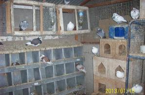mes pigeons de race 2013