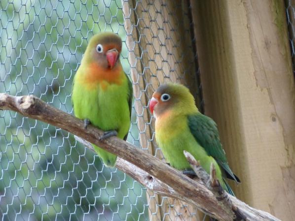 mes deux jeunes inséparable sortie du nid
