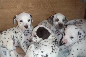 mini pack de photos de chiot et chien dalmatien