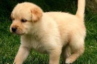 mini pack photos de chiot labrador