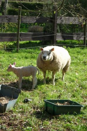 nous allons voir le petit agneau d' Hugo