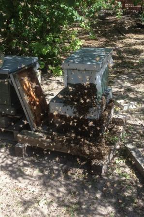 Essaim qui rentre dans une ruche tout seul.