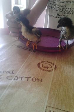 poussin de 20jours de mes coqs et poule