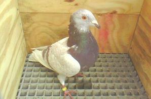 quelques pigeons 2015