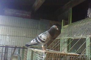 quelques pigeons