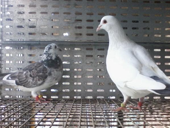petite modif pour accès direct a la volière (2 ieme pigeonnier )