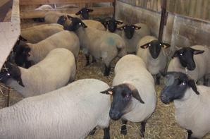 Brebis en gestation rentrées en bergerie