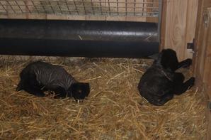 Nouveaux agneaux nés le 27 décembre 2012 et 2 janvier 2013