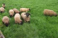 agnelles en pâture