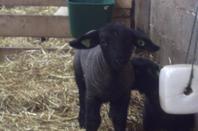 Evolution des agneaux