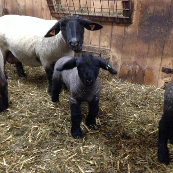 mes agneaux a une semaine.