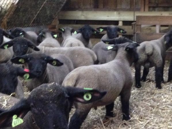 Fini les agnolages,55 agneaux..