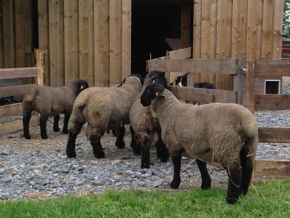 Mes agneaux