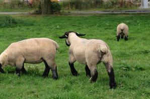 Mes agnelles 2016.