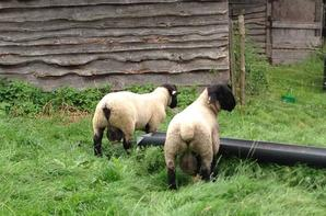 Mes agneaux 2016..
