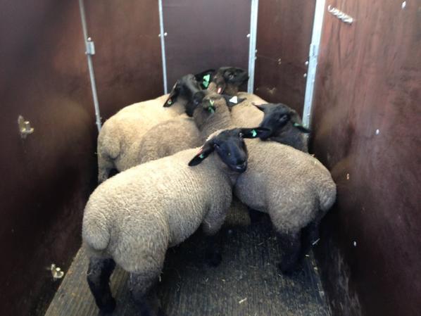 5 agnelles éxporter en italie..