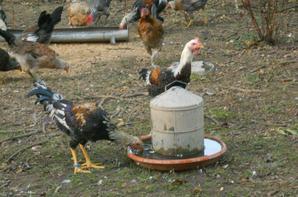 poulets et poulettes GCN nés le 19/04/2018 (5 mois)