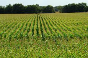 Irrigation du maïs